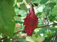 poison oak has red leaves in the summer